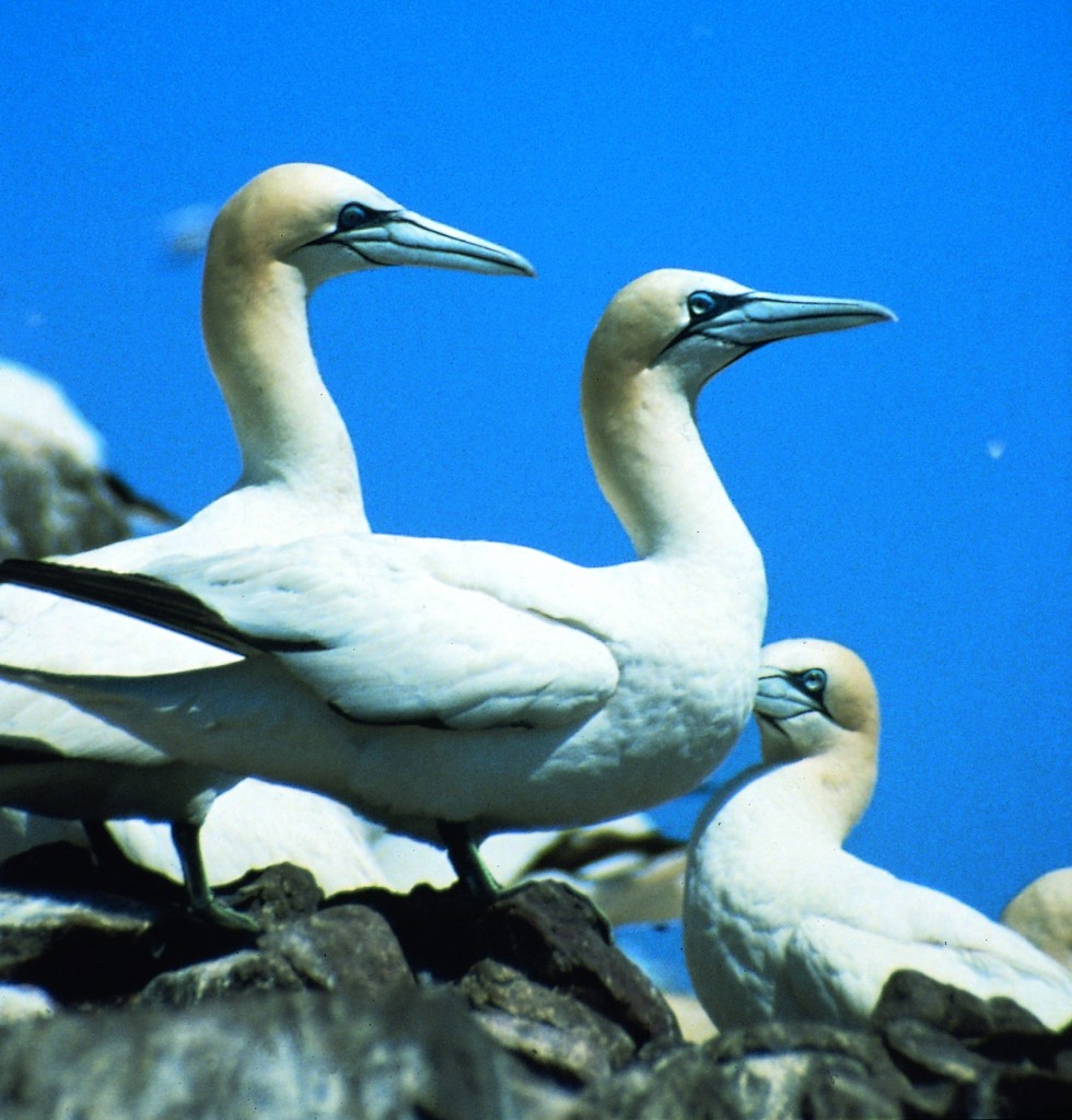 Gannets on Greassholm