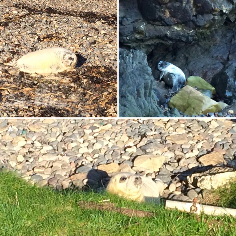 Seal Pups on Martins Haven